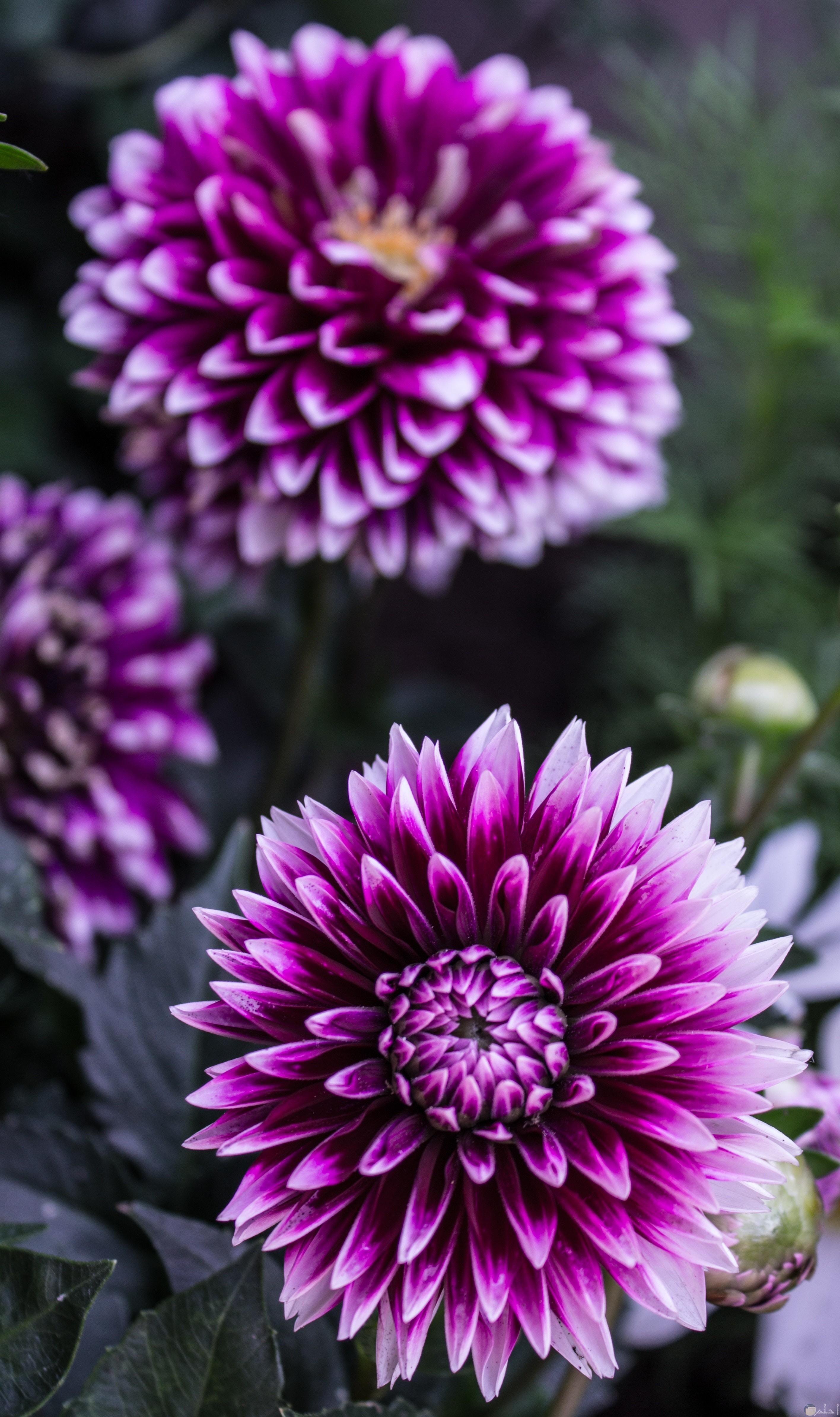 صور ورد بنفسجي تشبه زهرة عباد الشمس
