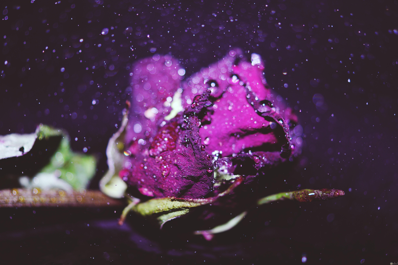 وردة تجنن بنفسجي تحت المطر