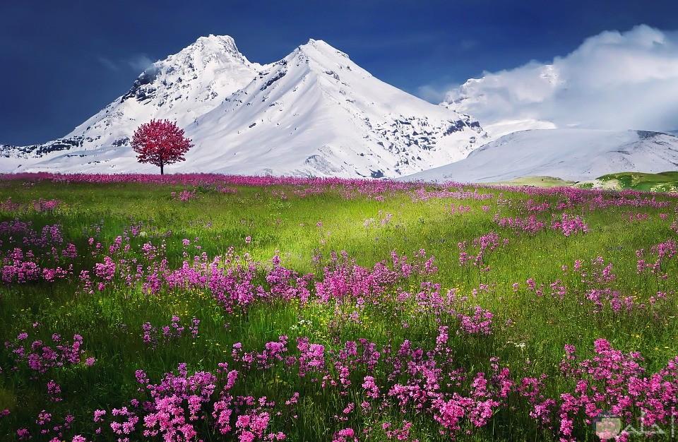 صورة طبيعية لجبال مغطاه بالثلج وزهور ملونه وزرع