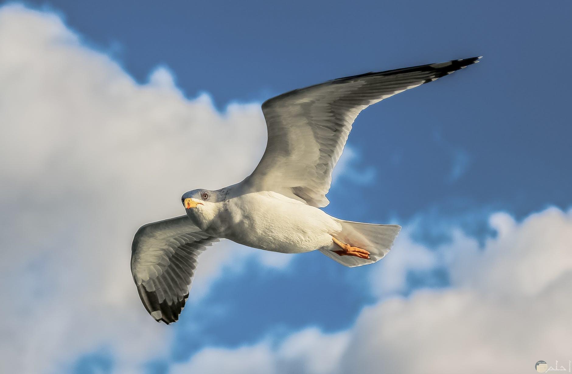 يمامه طائره لونها ابيض في اسمر عند السماء سحابه بيضاء صماء زرقاء