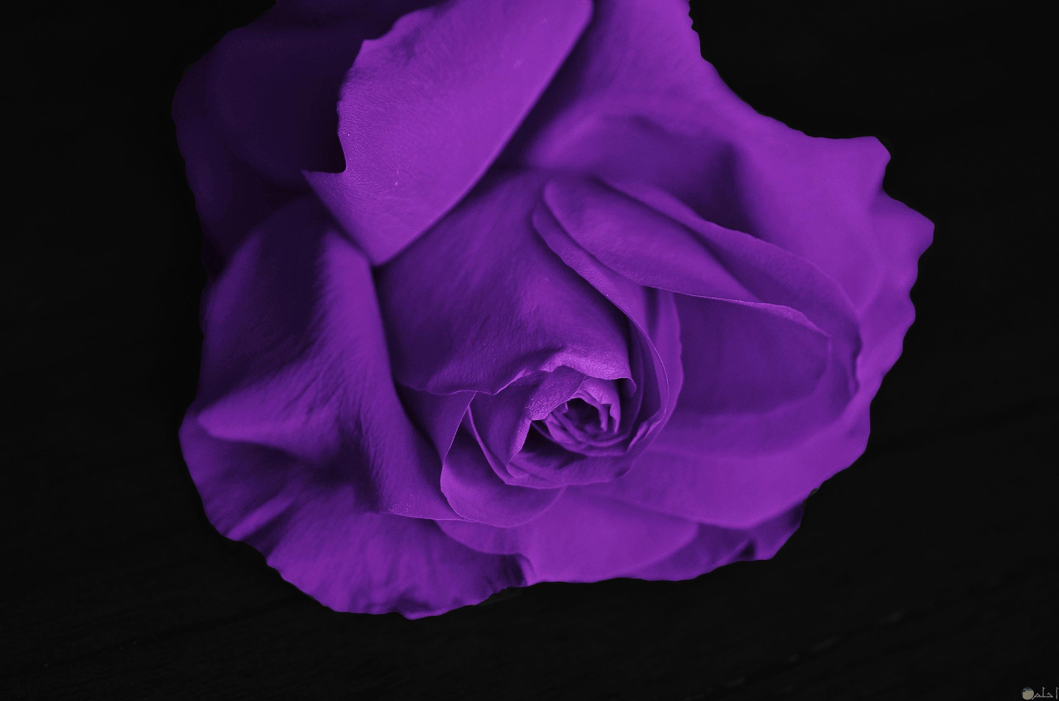 وردة تجنن تحمل لون من الالوان الورد البنفسجي