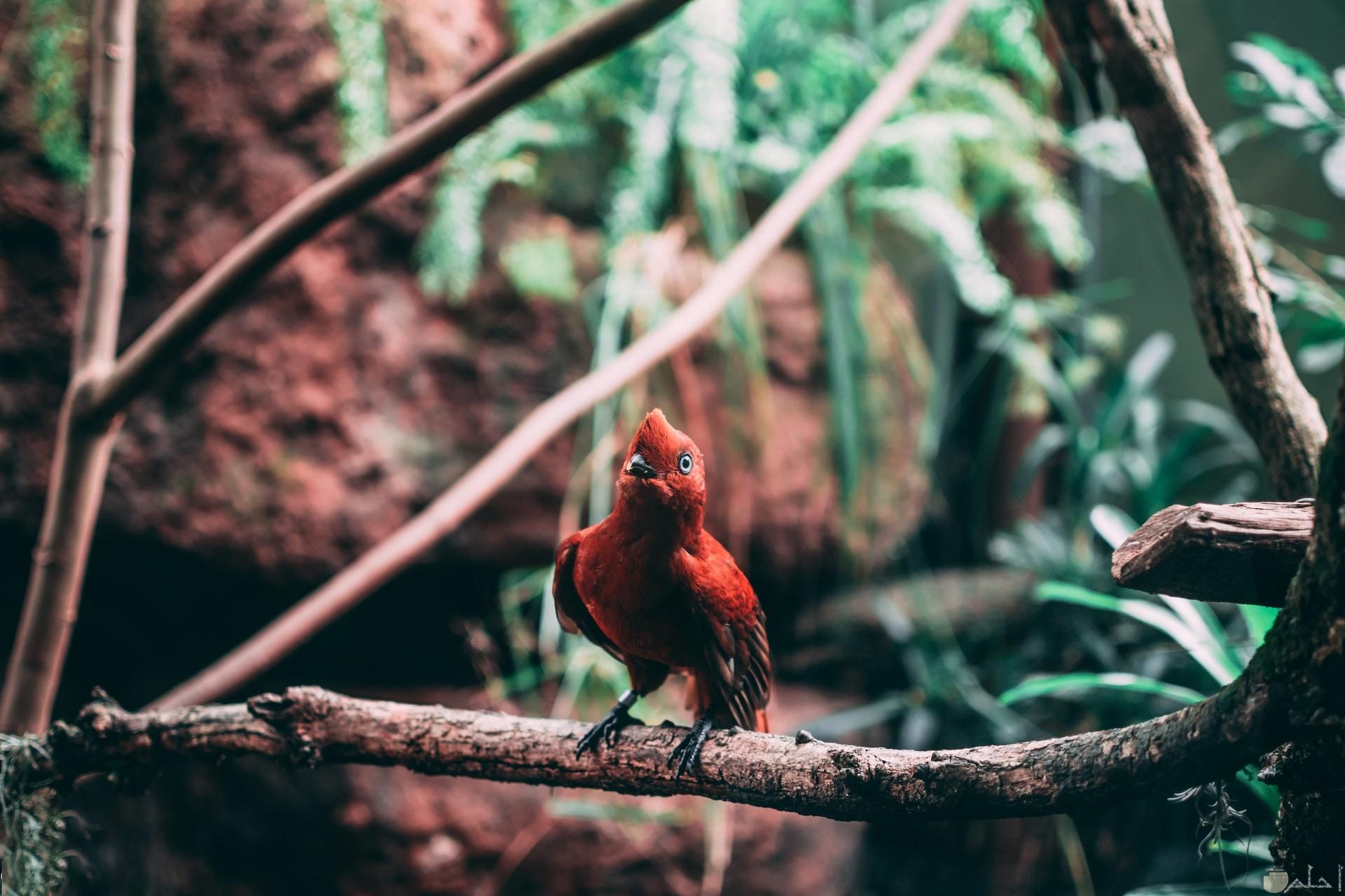 صورة جميلة جدا لطائر أحمر واقف علي غصن شجرة