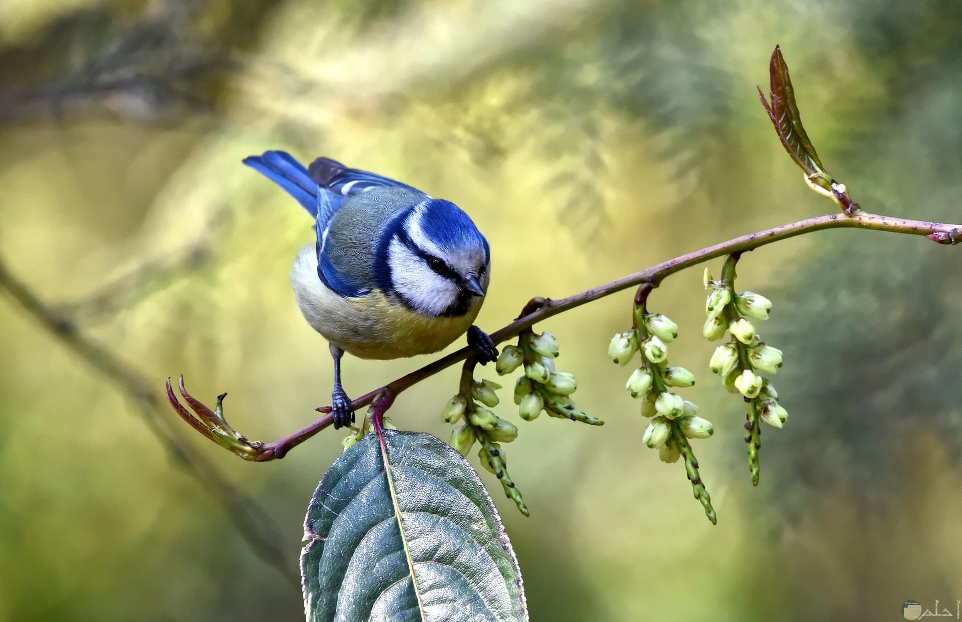 صورة جميلة جدا لطائر أزرق واقف علي غصن شجرة
