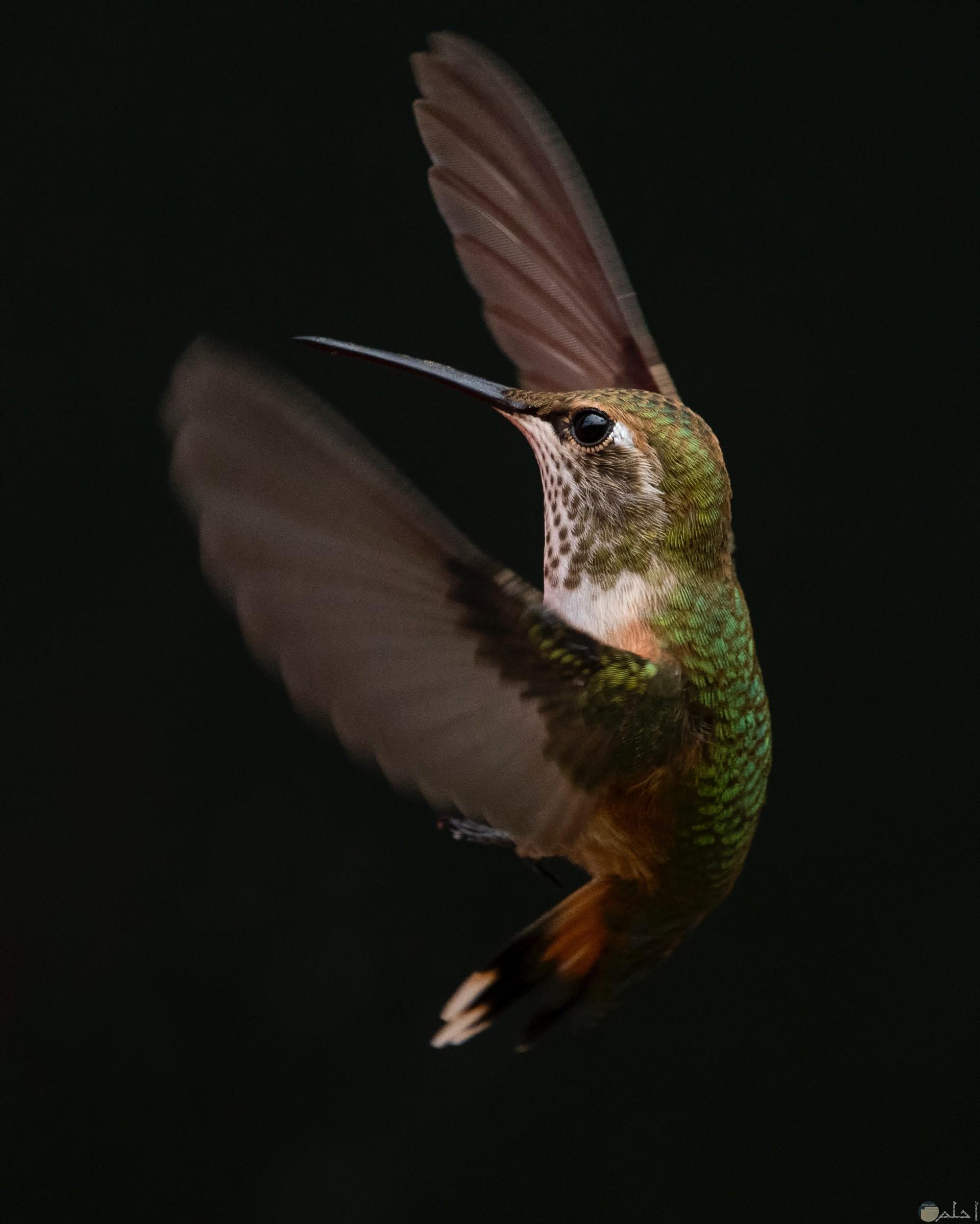 صورة جميلة جدا لطائر الطنان وهو فارد جناحيه في الهواء