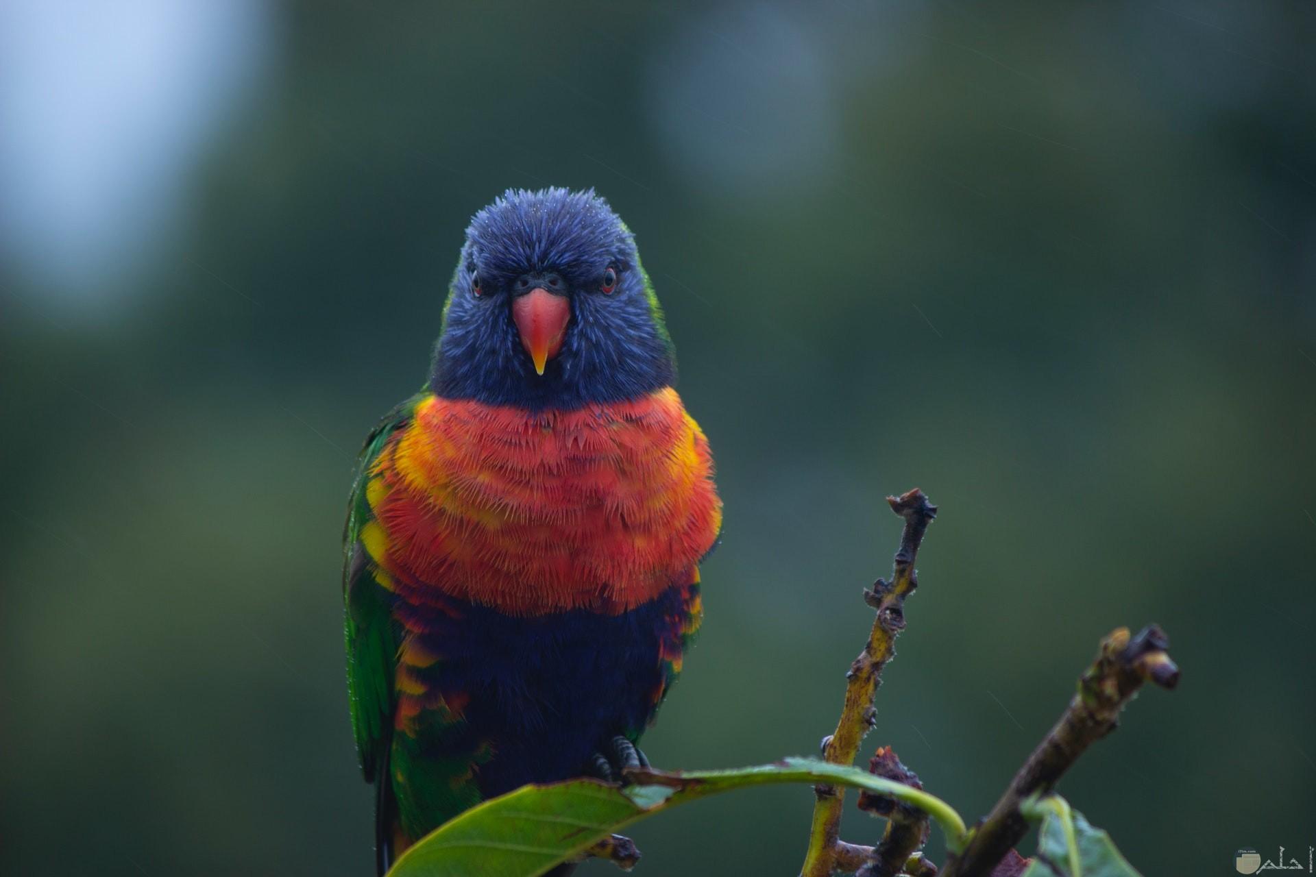صورة جميلة جدا لطائر بألوان أزرق وأحمر وأصفر وأخضر واقف