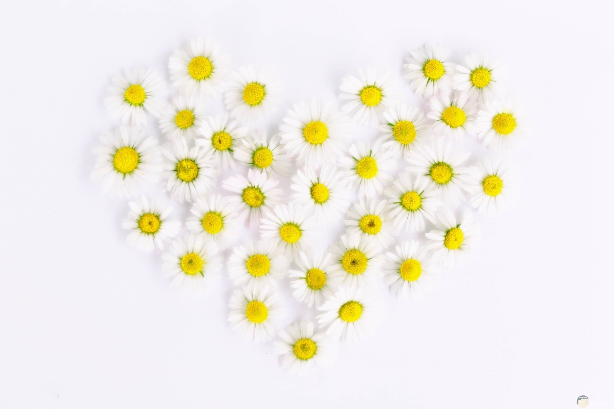 صورة جميلة جدا لقلب من الورود البيضاء مع خلفية فاتحة