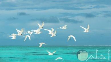 صورة جميلة جدا لمجموعة من الطيور البيضاء تطير في الهواء في مجموعة فوق البحر