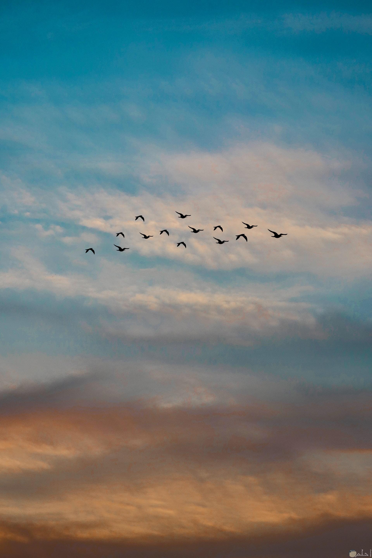 صورة جميلة جدا لمجموعة من الطيور تطير في الهواء في مجموعة وقت الغروب