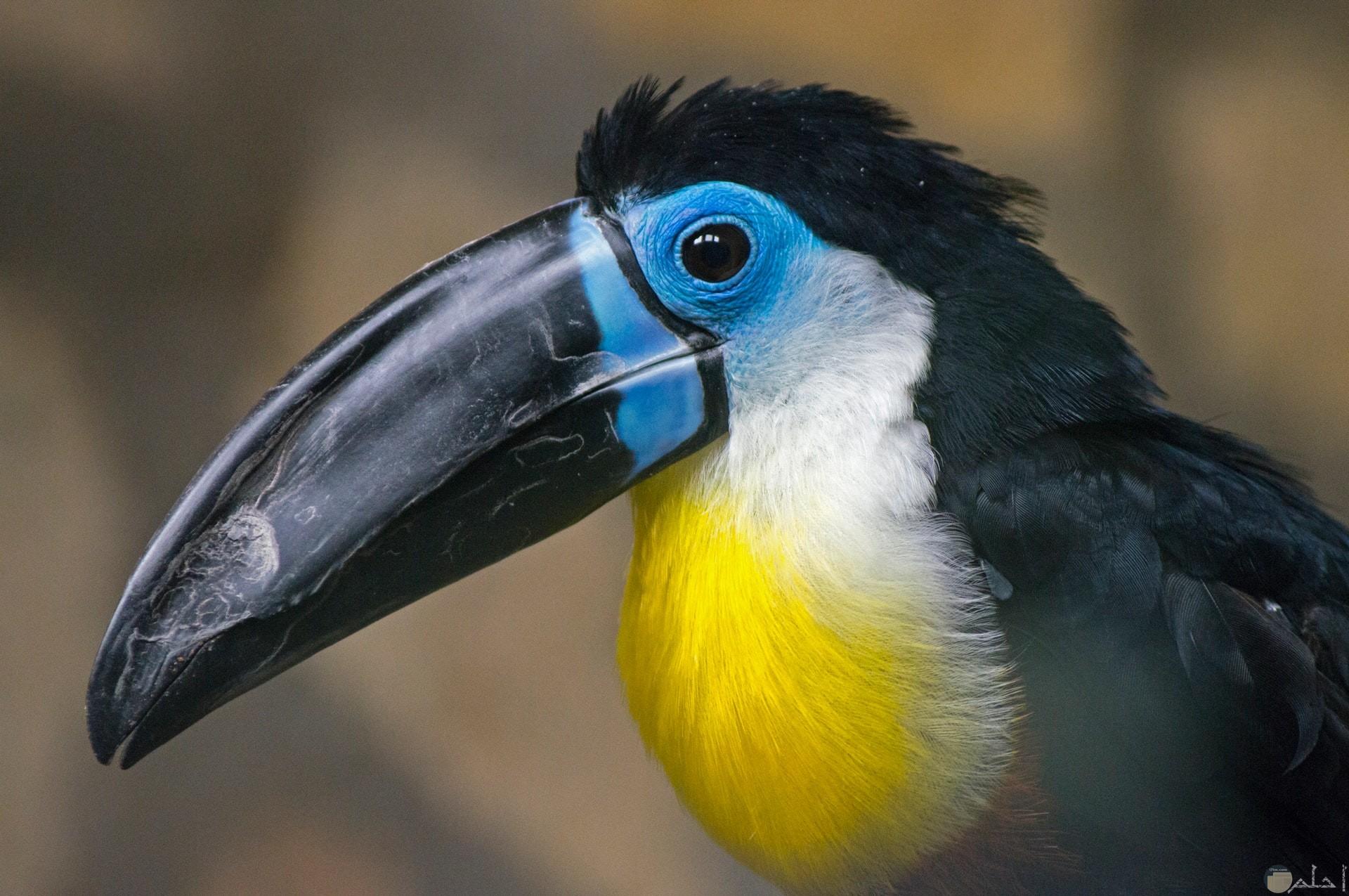 صورة جميلة لطائر ملون باللون الأبيض والأصفر والأسود وجزء من وجهه باللون اللبني