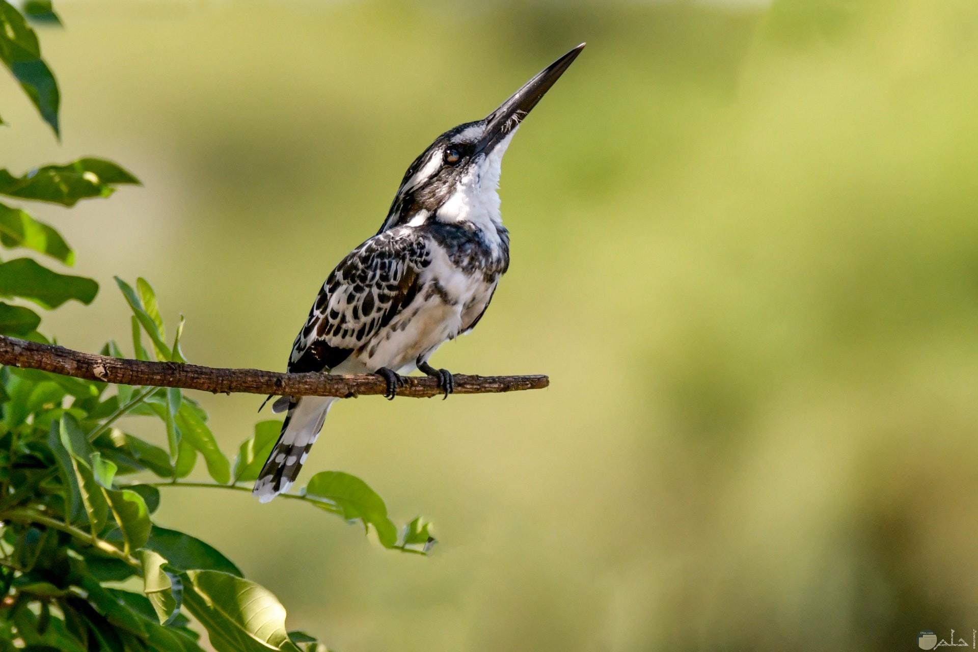 صورة جميلة لطائر ملون باللون الأبيض والبني واقف علي غصن شجرة