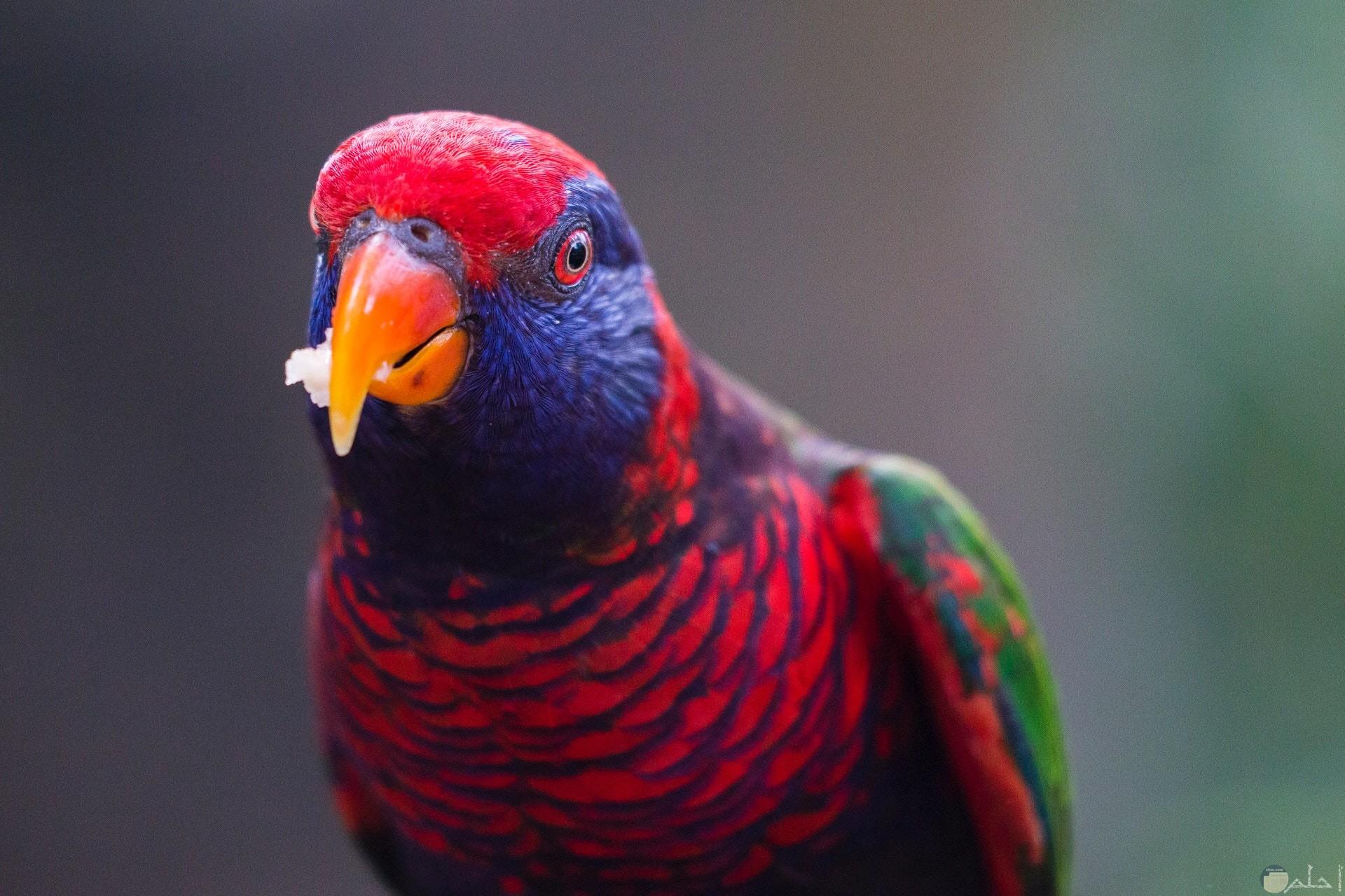 صورة جميلة لطائر ملون باللون الأحمر والبنفسجي والأخضر