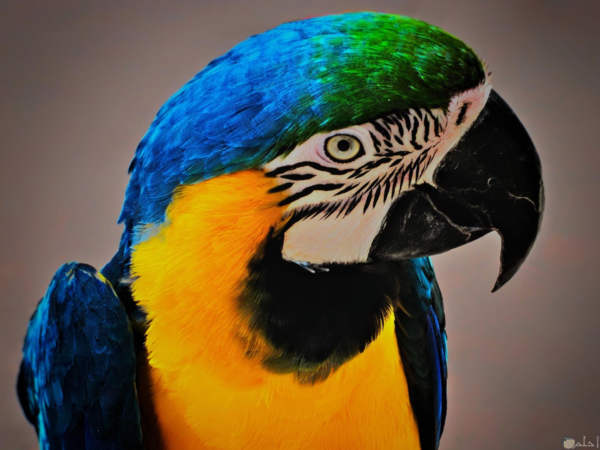 صورة جميلة لطائر ملون باللون الأصفر والأزرق والأخضر والأسود