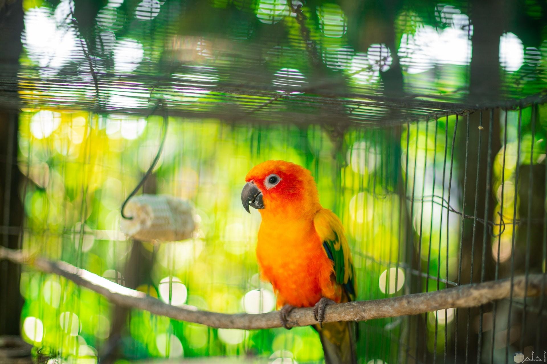 صورة جميلة لطائر ملون باللون الأصفر والبرتقالي والأخضر موجود داخل قفص