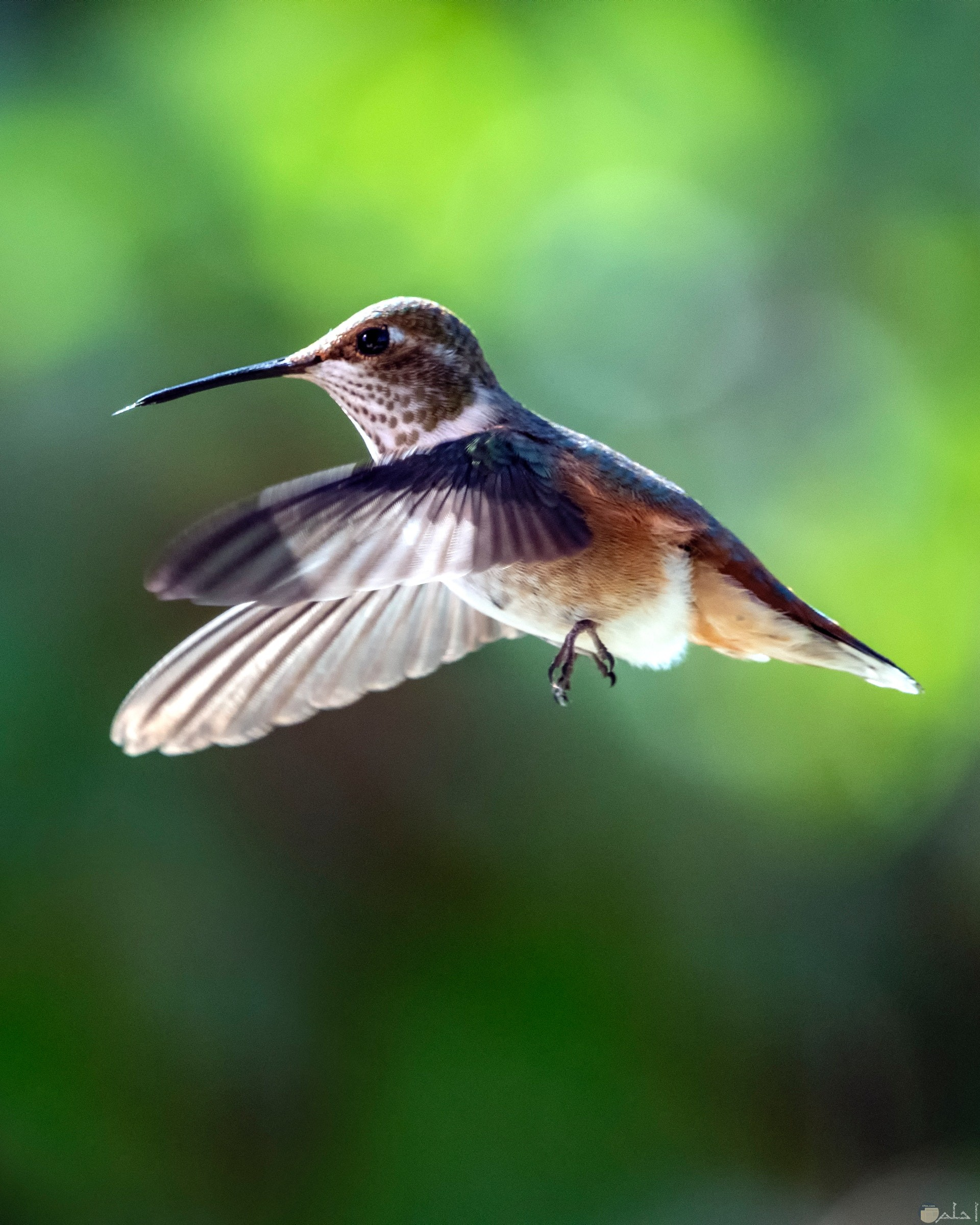 صورة حلوة جدا لطائر الطنان وهو يطير في الهواء