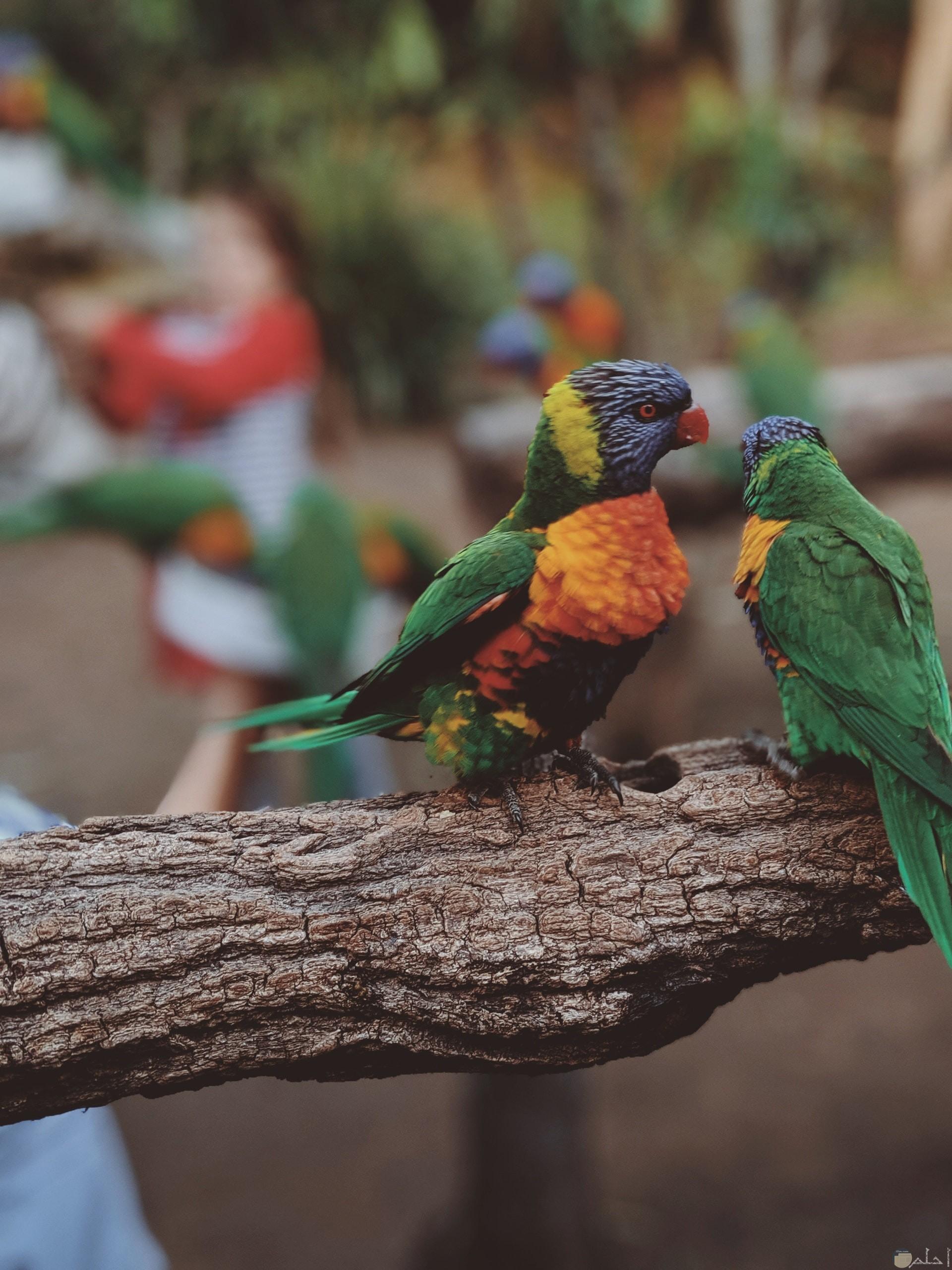 صورة مميزة جدا لطائران جميلان ملونان باللون الأخضر والبرتقالي والأصفر والبنفسجي واقفان علي الغصن
