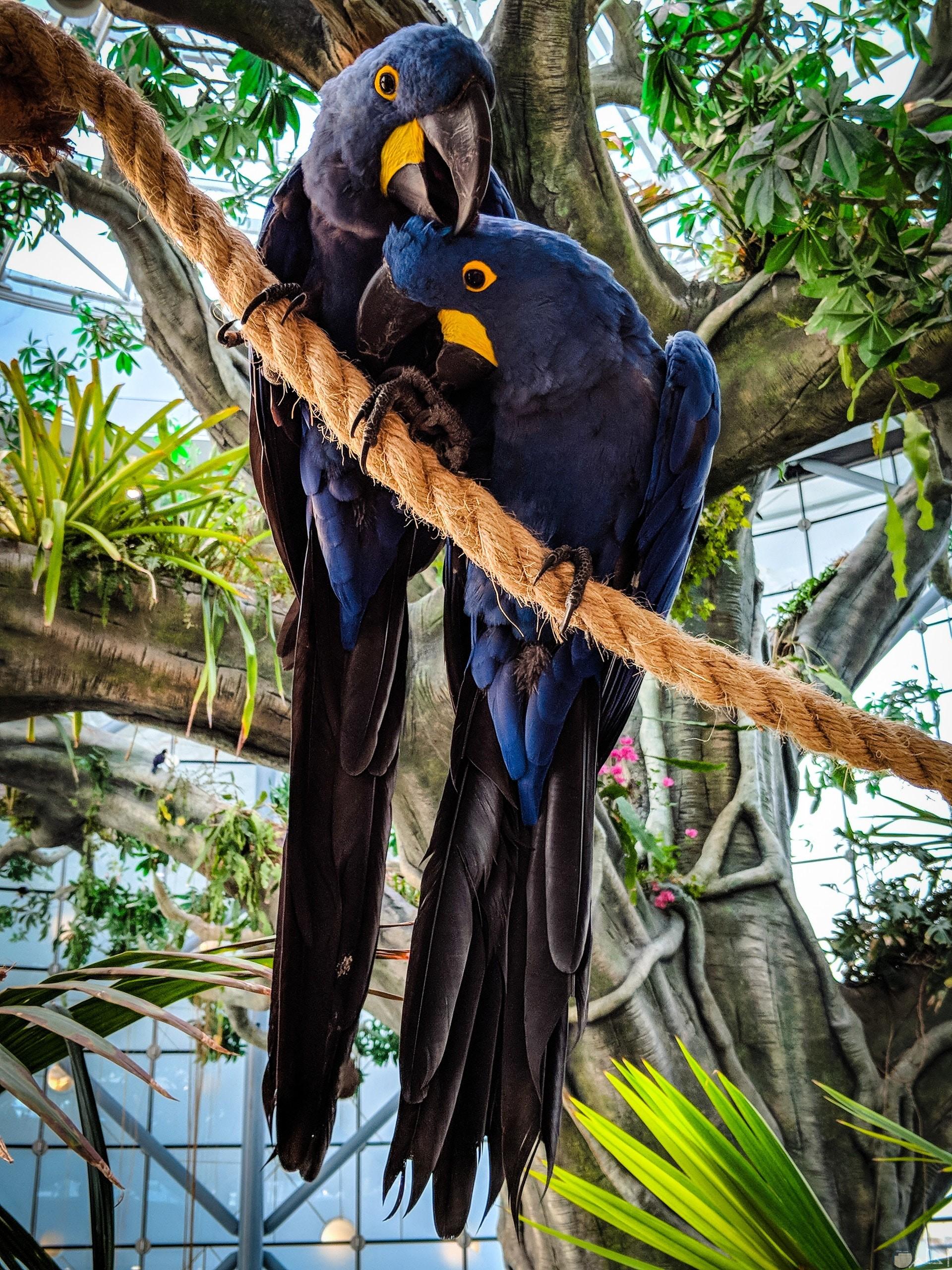 صورة مميزة جدا لطائران جميلان ملونان باللون الأزرق والأسود وجزء من منقارهم باللون الأصفر واقفان علي الحبل