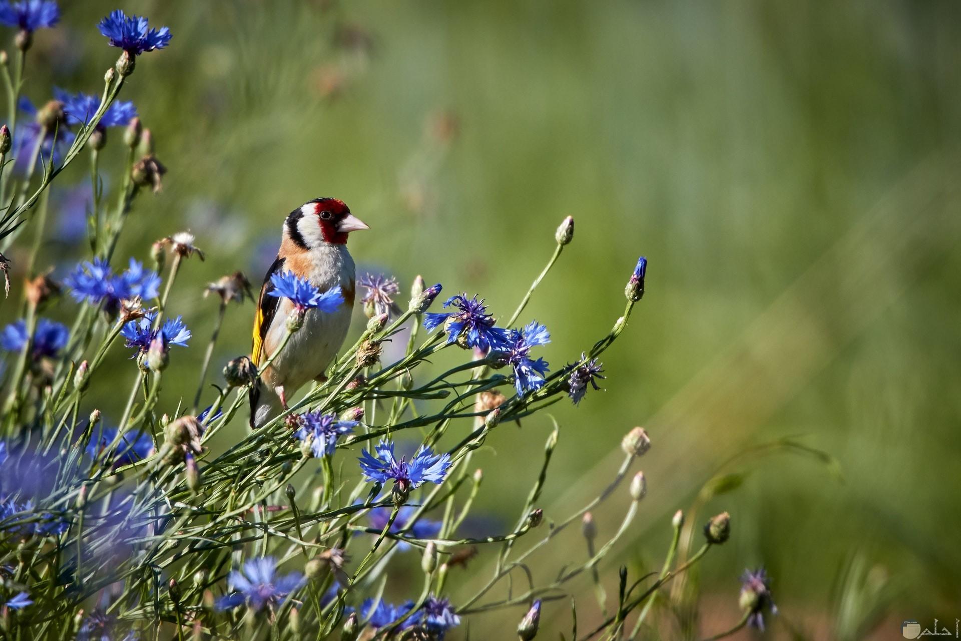 صورة مميزة جدا لطائر أبيض ورأسه أحمر جميل مع حديقة ورد زرقاء