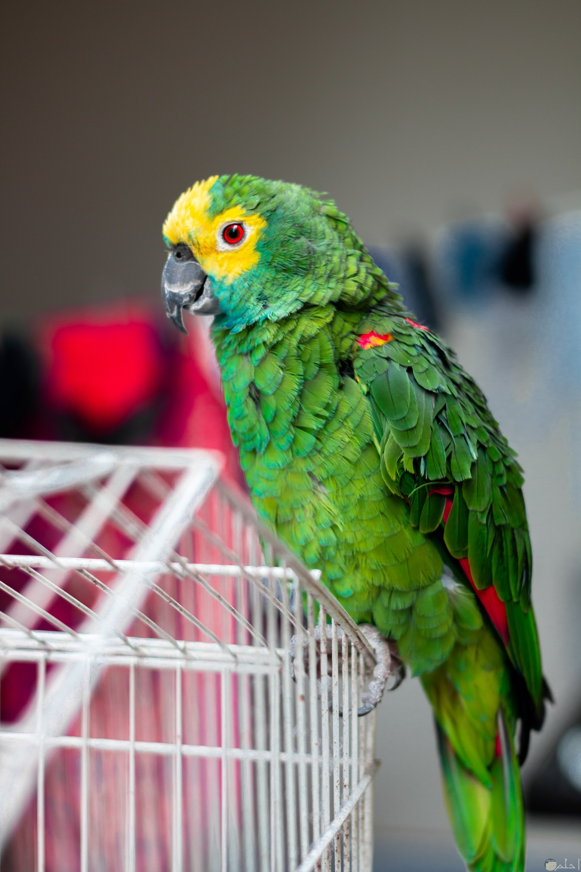 صورة مميزة جدا لطائر جميل باللون الأخضر وجزء من رأسه باللون الأصفر وجزء من جناحه باللون الوردي واقف علي القفض