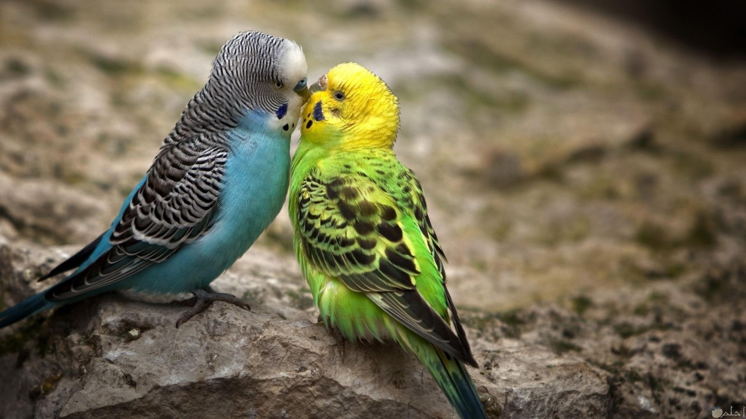 عصفورين أخضر وأزرق يقبلوا بعض