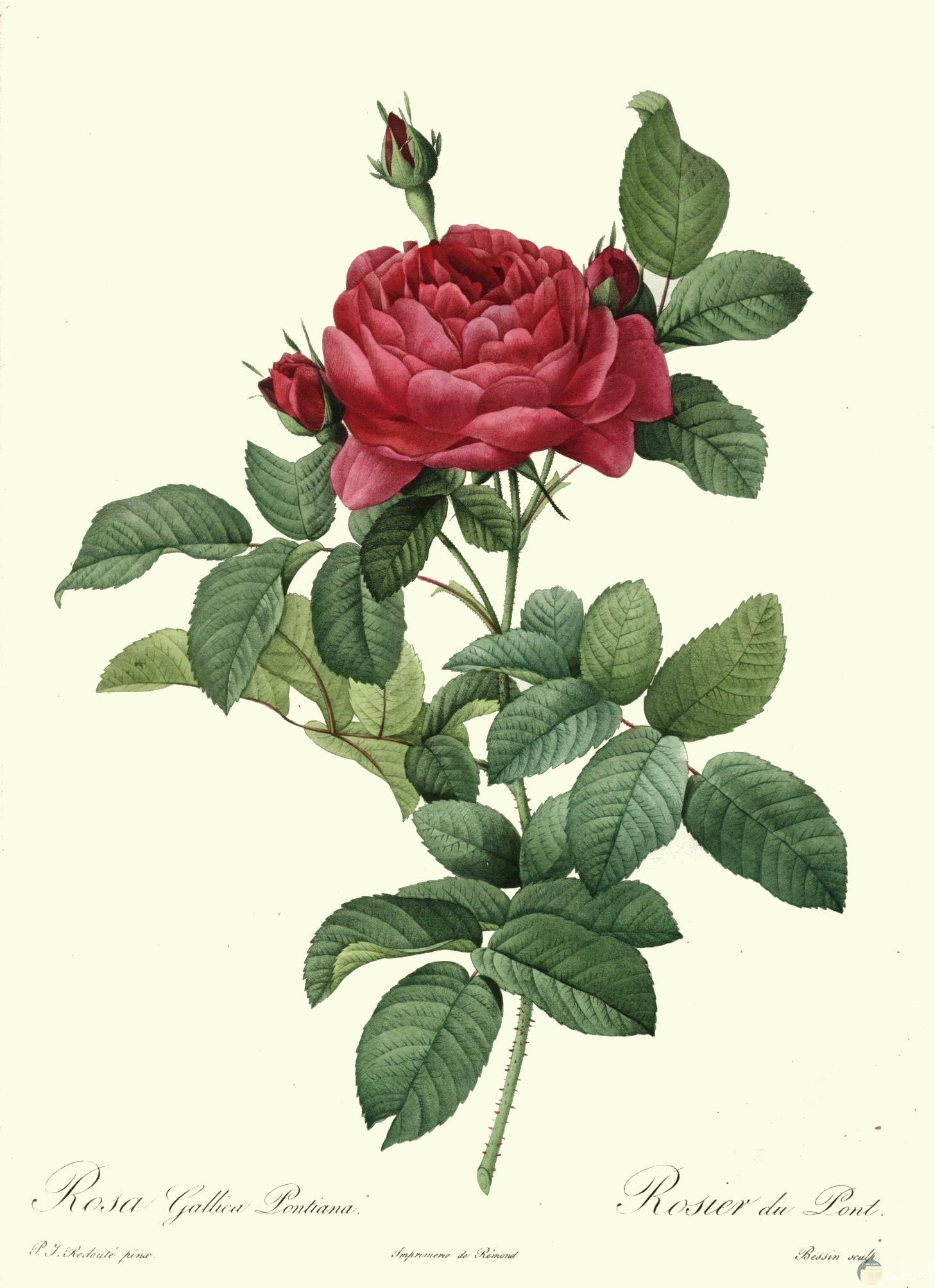 وردة جميلة مرسومة وملونة باللون الاحمر