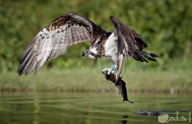 نسر يقوم بصيد سمكة من البحيرة