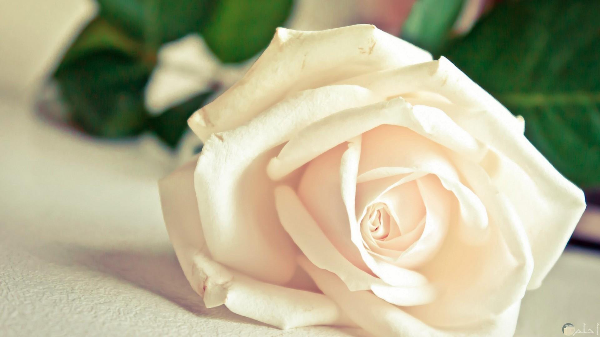 وردة بيضاء رقيقة جداً