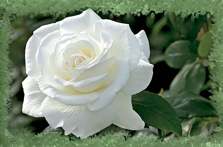وردة بيضاء وسط خضرة