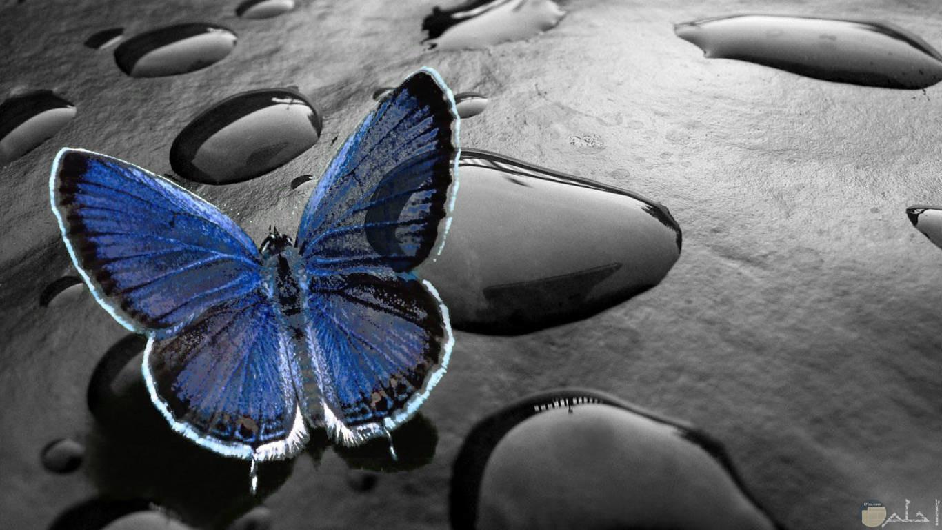 خلفية فراشة زرقاء في أسود وقطرات ماء