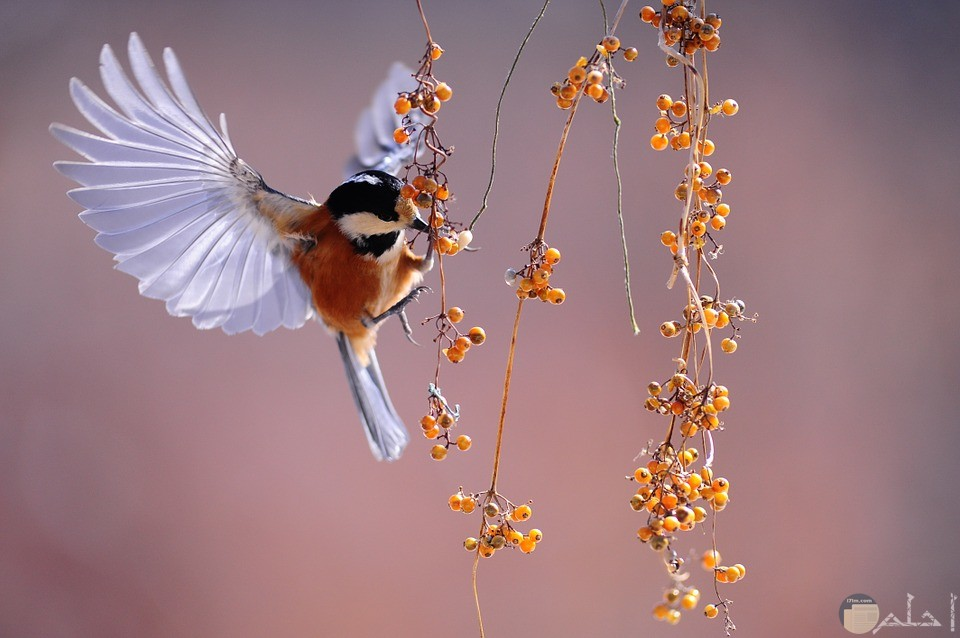 طائر جميل جدا صغير الحجم يشبة العصفور يتميز بصوت عذب