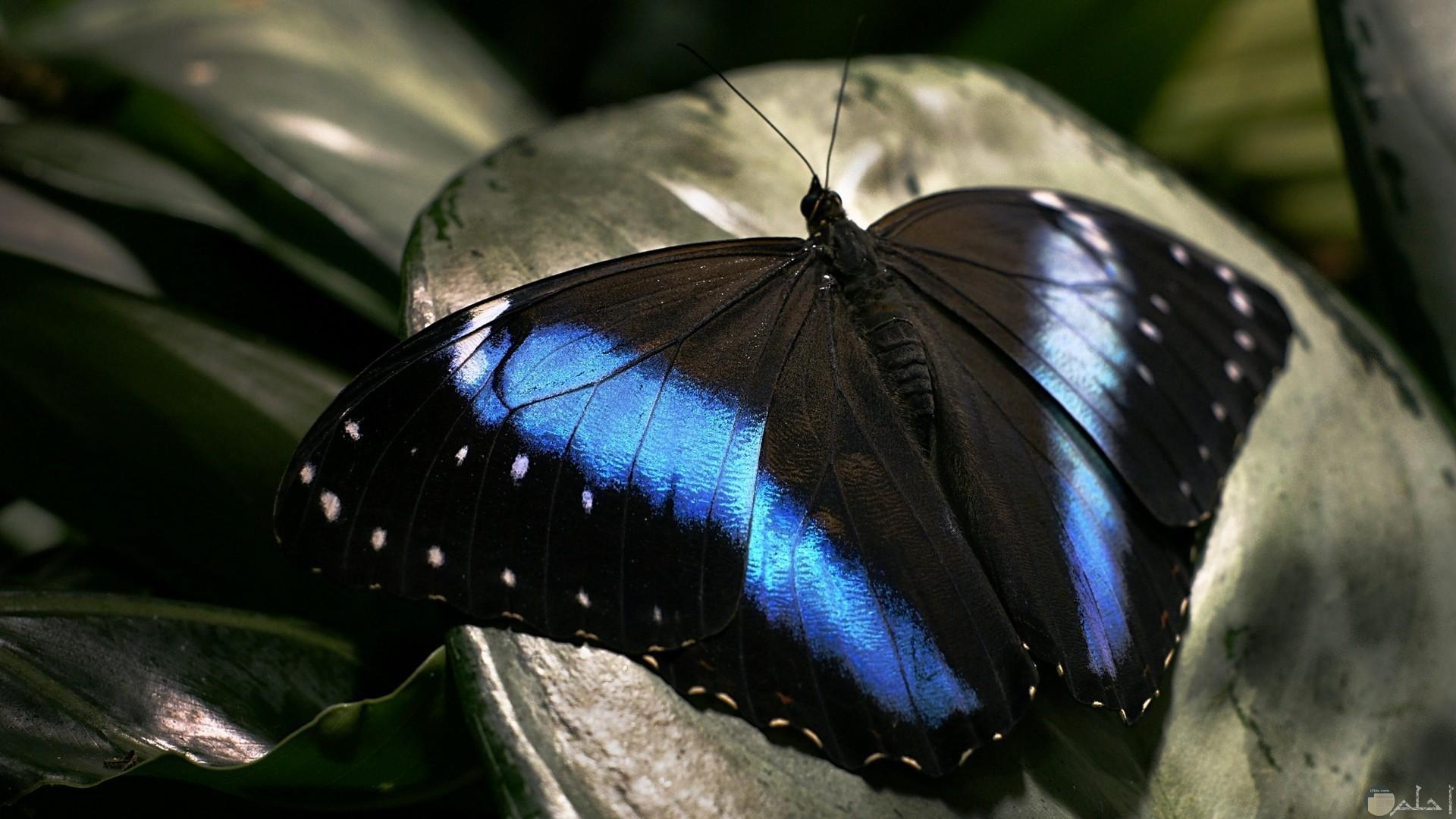 خلفية فراشة باللون الأسود والأزرق