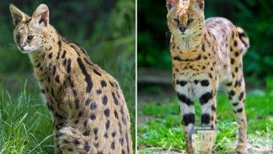 نوع غريب من القطط البرية بأرجل طويلة نسبياً.