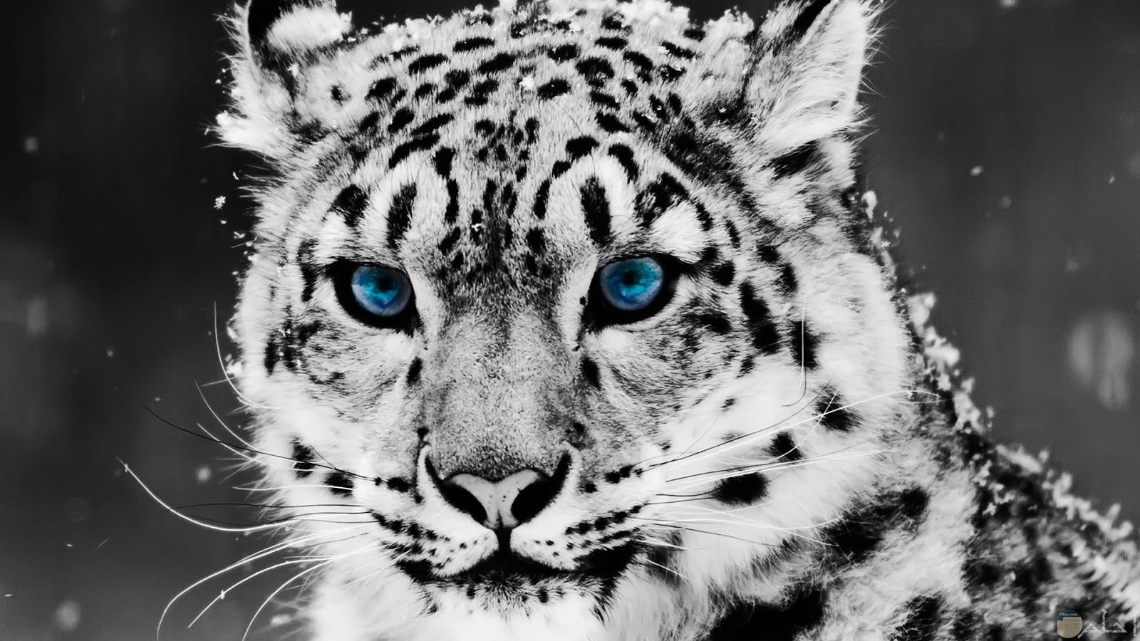 نمر أبيض ينظر للفريسة