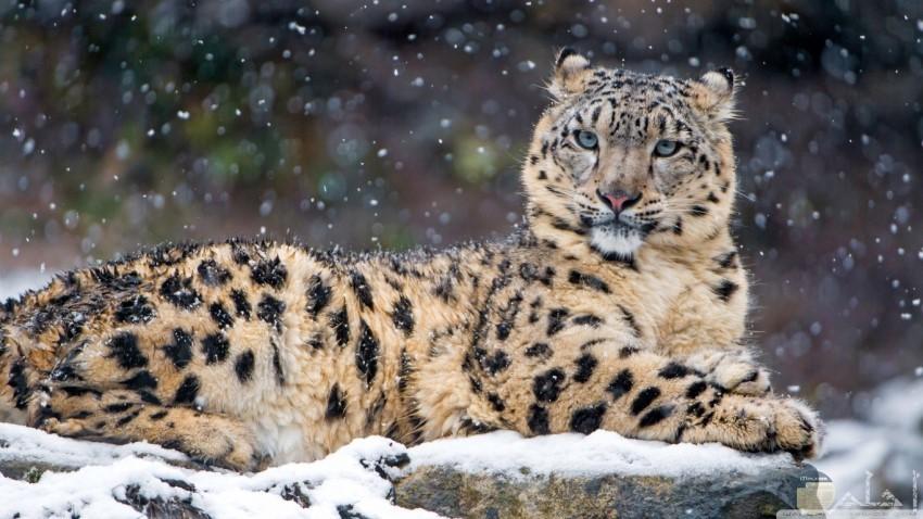 نمر مسترخي وسط الثلوج المتساقطة