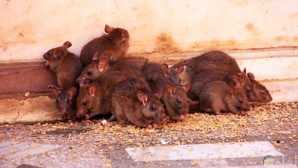 مجموعة فئران
