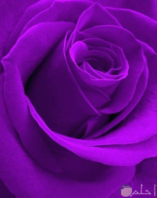 وردة كبيرة شكلها مميز ولونها موف