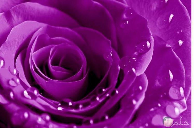 صورة جميلة لوردة موف عليها قطرات من الماء