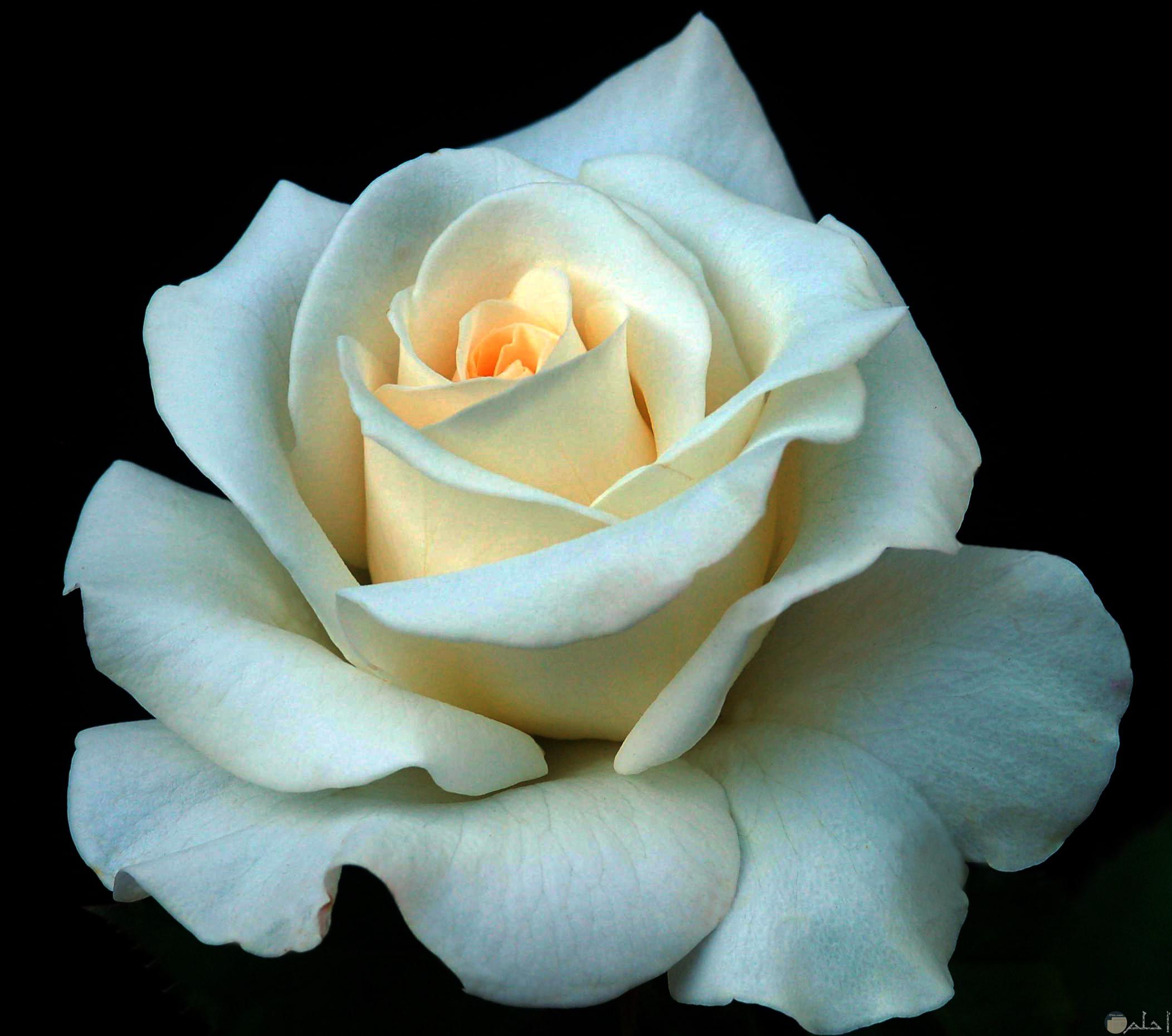 جمال الورد الابيض