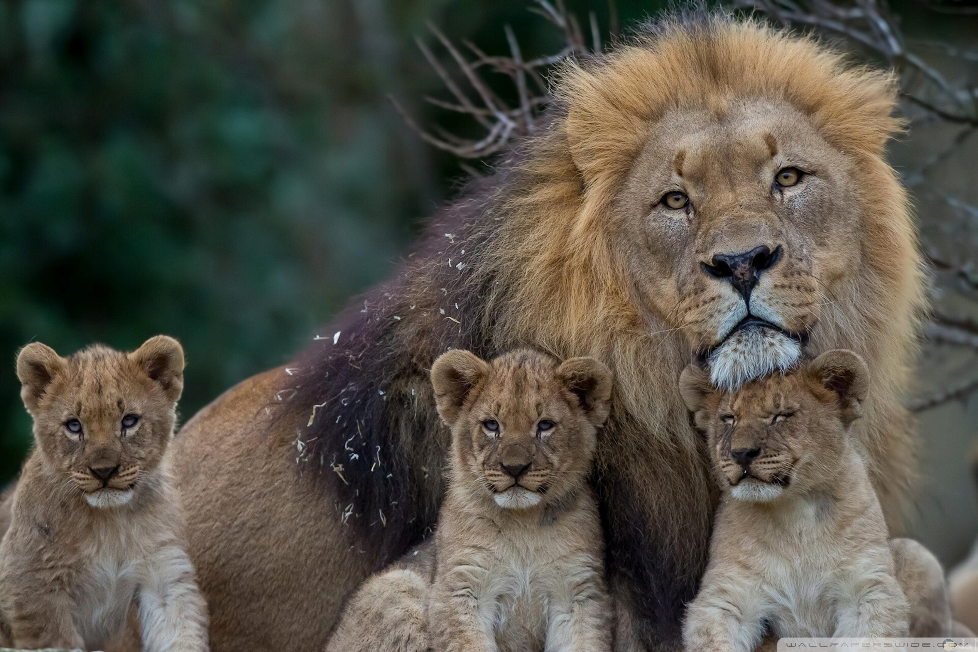أسد مع أبنائه
