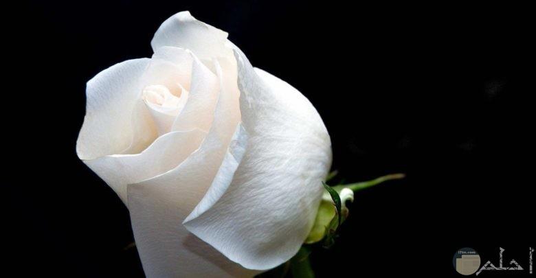 وردة بيضاء رقيقة وجميلة