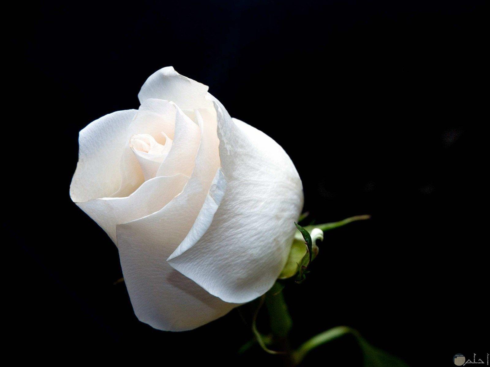 ورده جميلة بيضاء اللون