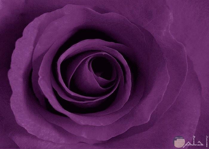 صورة وردة لونها موف فاتح