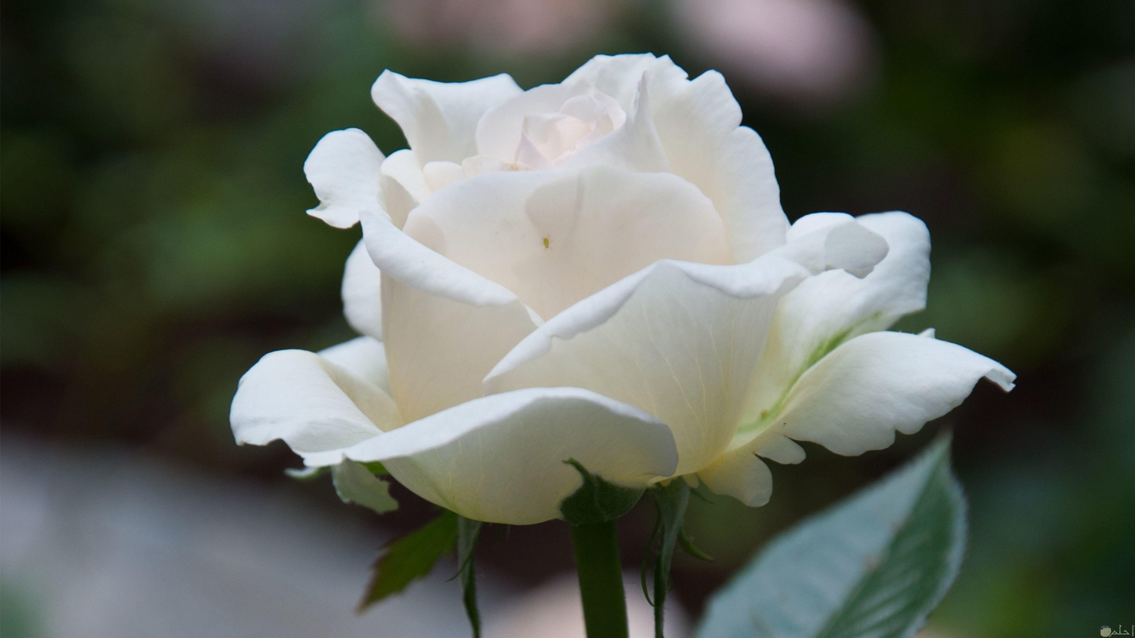 ورده جميلة بيضاء مبهجة