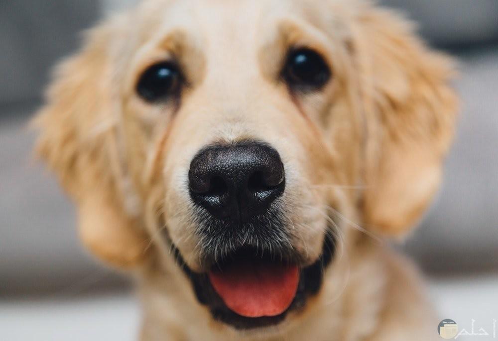 كلب باللون البنى