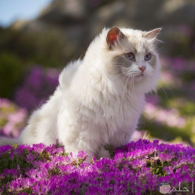 قطة باللون الابيض ساحرة الجمال