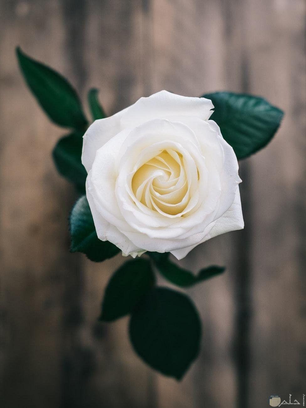 الورد الابيض وجمالة