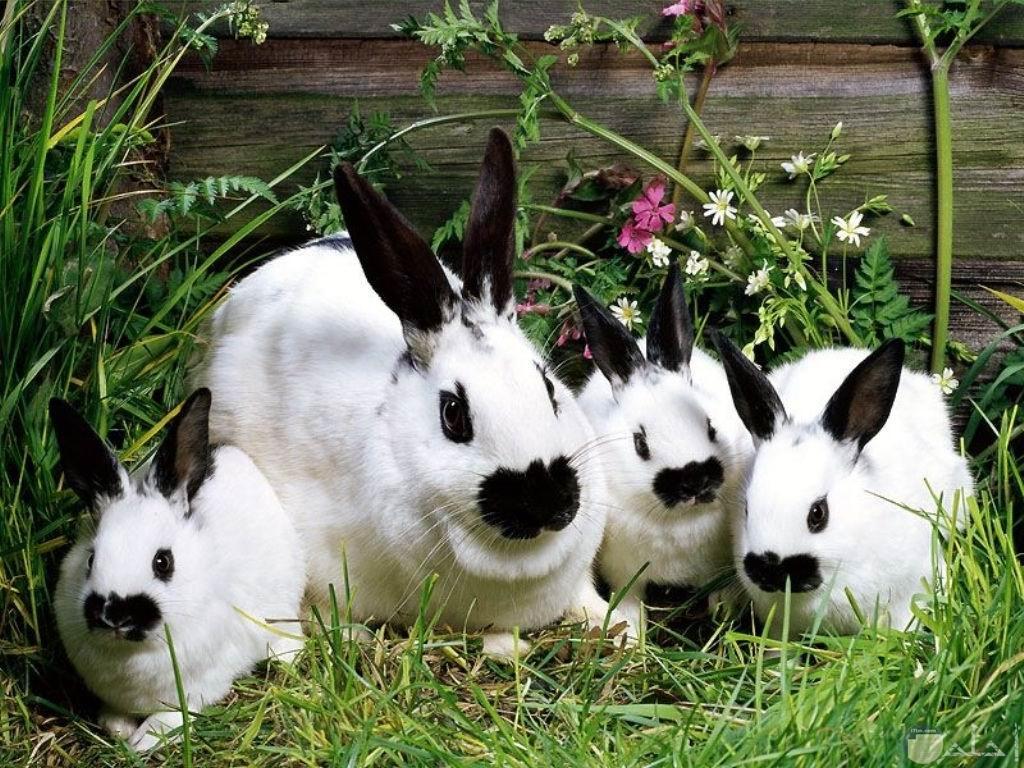 أربع أرانب أبيض و أسود.