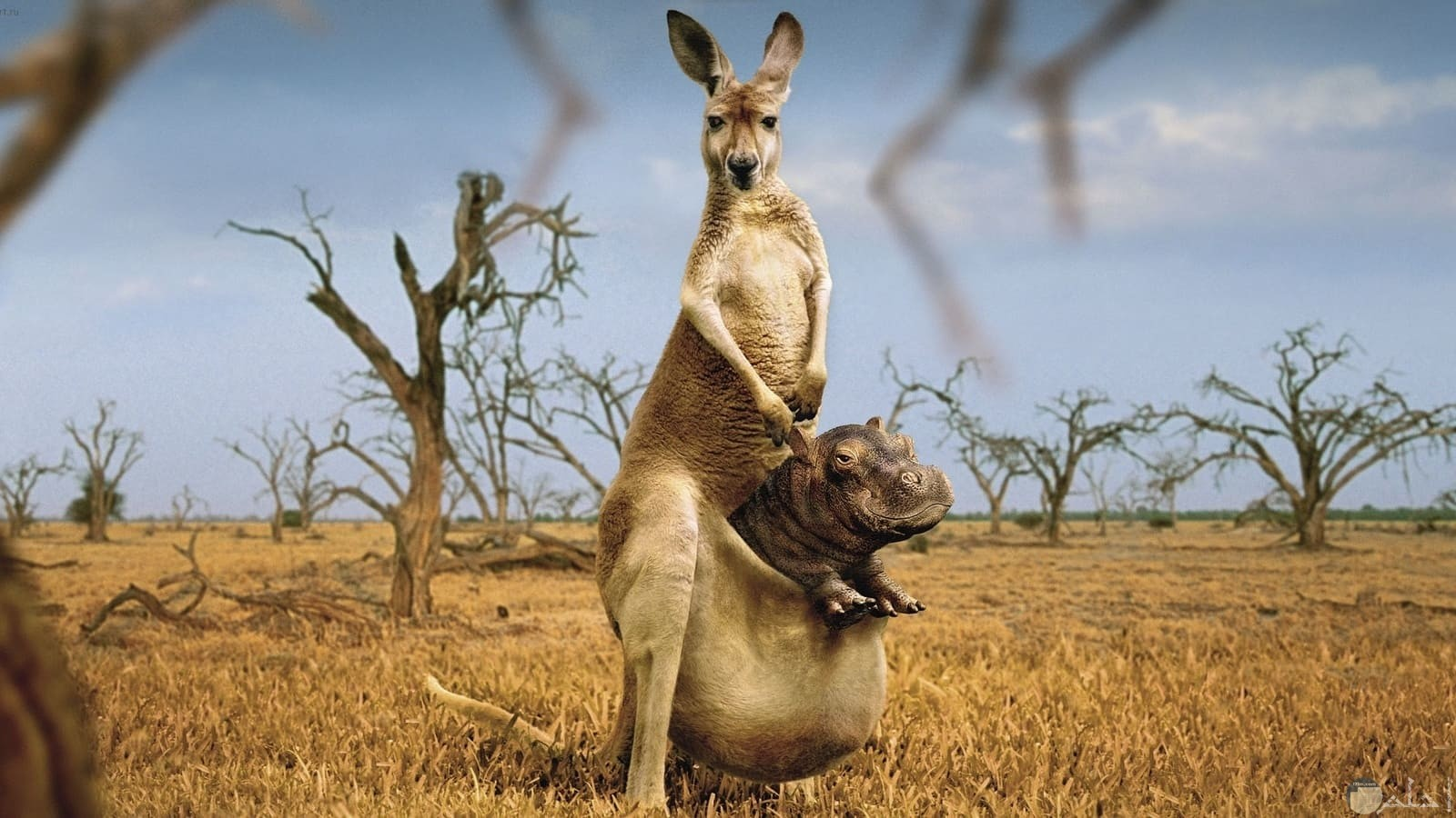 الكنجرو يحمل في كيسه طفل غير طفله.