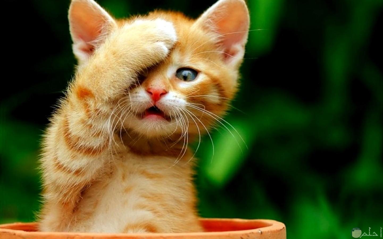 قطة تضع يد واحدة على أعينها بشكل مضحك.