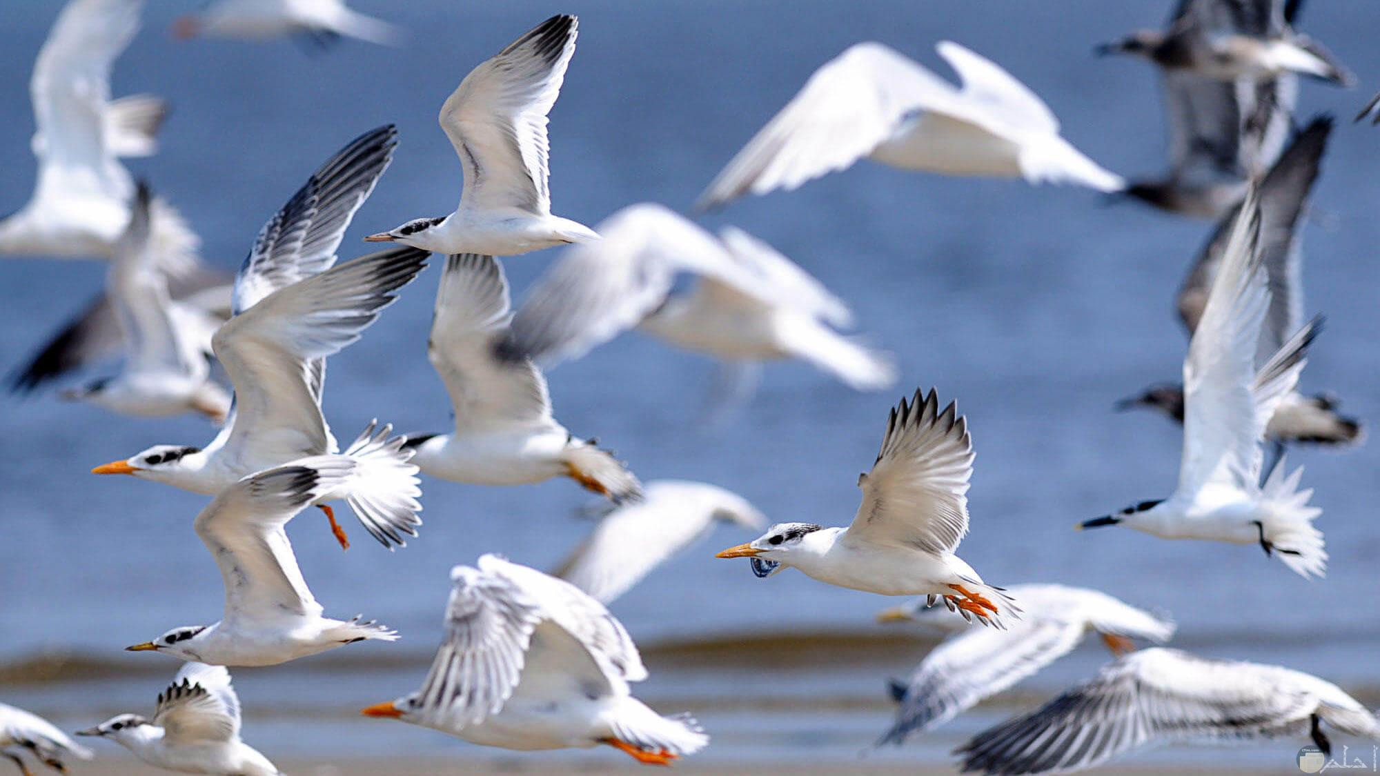الطيور البرية الجميلة و هي تطير في السماء بحرية و أمان.