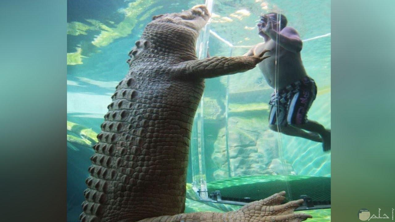 تمساح في إحدى حدائق الحيوان.